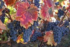 Rotwein-Trauben auf Rebe Lizenzfreies Stockfoto