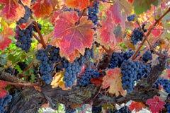 Rotwein-Trauben auf Rebe Stockfoto