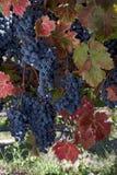 Rotwein-Trauben auf Rebe Stockbild
