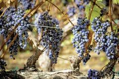 Rotwein-Trauben, die auf der Rebe reifen Stockbild