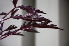 Rotwein verlässt von einem Cimicifuga lizenzfreie stockfotos