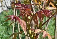 Rotweinblätter an einem sonnigen Tag stockbilder
