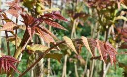 Rotweinblätter an einem sonnigen Tag stockfotografie