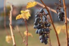 Rotweintrauben auf Rebe stockbilder