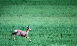 Rotwild auf dem Feld Stockbild