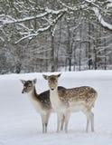Rotwild auf dem Gebiet im Schnee Stockfotos