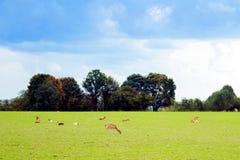 Rotwild auf dem Gras Lizenzfreies Stockbild