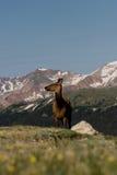 Rotwild auf einem Bergabhang Stockfotos