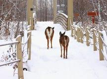 Rotwild auf einer Brücke im Winter Stockfotografie