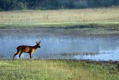 Rotwild auf Sumpfgebiet Lizenzfreie Stockfotos