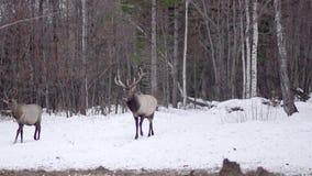 Rotwild aus dem Schneeholz heraus stock video