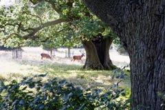 Rotwild, das zwischen Bäume im Sonnenlicht des frühen Morgens langsam galoppiert Lizenzfreies Stockbild