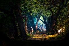 Rotwild in den mystischen Lichtern Stockbilder