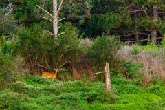 Rotwild in der grünen Landschaft Stockfotos