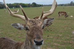 Rotwild der wild lebenden Tiere Stockfoto