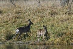 Rotwild des weißen Schwanzes stehen Teich bereit Stockbild