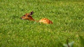Rotwild, die auf dem Gras sich verstecken Lizenzfreies Stockbild