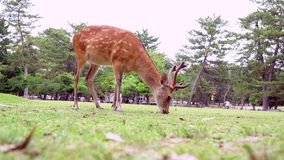 Rotwild, die auf Gras in Nara Park Famous Place in Kansai, Japan weiden lassen stock video