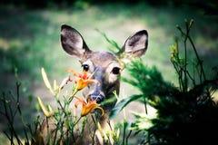 Rotwild, die Blumen essen Stockfotografie
