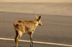 Rotwild, die eine verkehrsreiche Straße kreuzen Stockfotografie