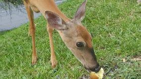 Rotwild, die einen Apfel essen lizenzfreies stockfoto