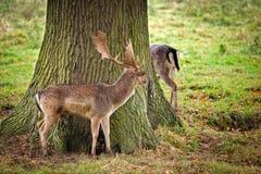 Rotwild, die einen Baum bereitstehen Stockbild