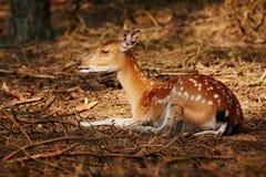 Rotwild, die in einer sonnigen Stelle in einem dunklen Wald liegen Stockfotos