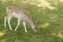 Rotwild, die Gras essen Stockfotos