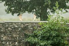 Rotwild, die hinter Steinwand sich verstecken Lizenzfreies Stockfoto