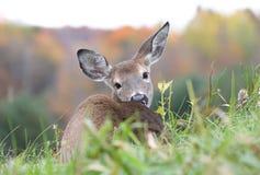 Rotwild, die im Gras stillstehen stockfoto