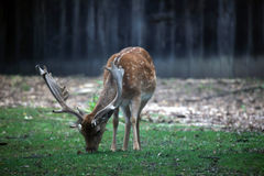 Rotwild, die im Wald weiden lassen Lizenzfreies Stockfoto
