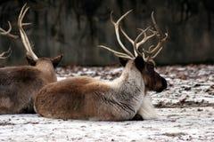 Rotwild, die sich im Wald hinlegen Stockfotografie