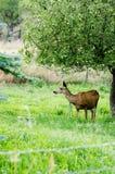 Rotwild durch Apfelbaum Stockbild