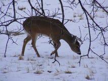 Rotwild durch Bäume und Niederlassungen, die im Schnee essen Stockfotografie
