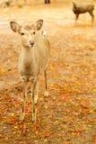 Rotwild in einem Herbstpark Stockfoto