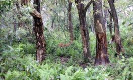 Rotwild in einem Wald Lizenzfreie Stockfotografie