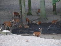 Rotwild in einem Wald stockbilder
