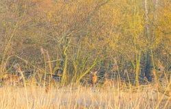 Rotwild in einem Wald im Sonnenlicht im Winter Stockfotos