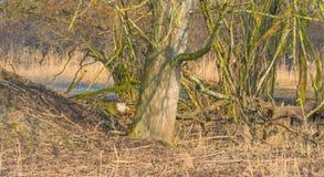 Rotwild in einem Wald im Sonnenlicht im Winter Stockbild