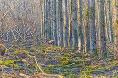 Rotwild in einem Wald im Sonnenlicht im Winter Stockfoto