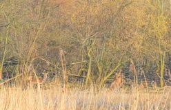 Rotwild in einem Wald im Sonnenlicht im Winter Stockfotografie