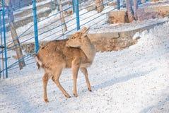 Rotwild in einem Zoo Lizenzfreie Stockbilder