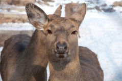 Rotwild in einem Zoo Lizenzfreies Stockfoto