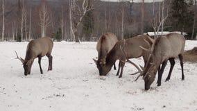 Rotwild essen im Winterwald stock footage