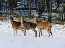 Rotwild gruppieren im Winterwald lizenzfreies stockbild