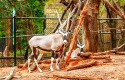 Rotwild haben langes Horn im Zoo Lizenzfreie Stockbilder