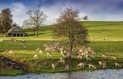 Rotwild-Herde bei Dalham Stockfoto