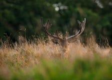 Rotwild-Hirsch, der im langen Gras liegt Stockbild
