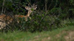 Rotwild-Hirsch ein junger Dollar, der Schutz hält lizenzfreies stockfoto
