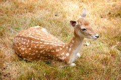 Rotwild im braunen Gras Stockfotografie